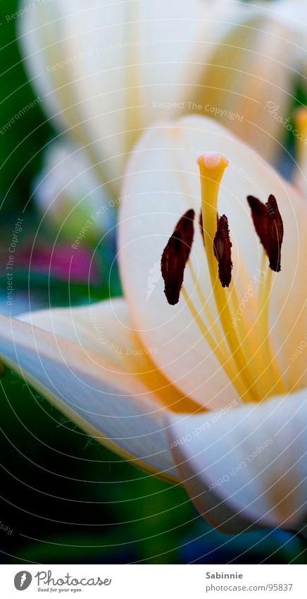 (behaarte) Lilie Lilien Blume Blüte Blütenblatt Lilienblüte Nahaufname Stempel Natur