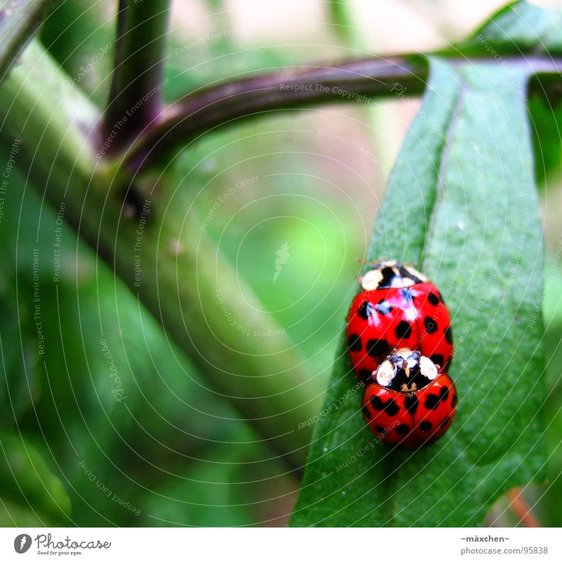 Marienkäferliebe - make love not war Brunft Frühling Freude Fortpflanzung rot grün Sträucher Nachkommen Produktion mehrfarbig marienkäfern pflecken Käfer red