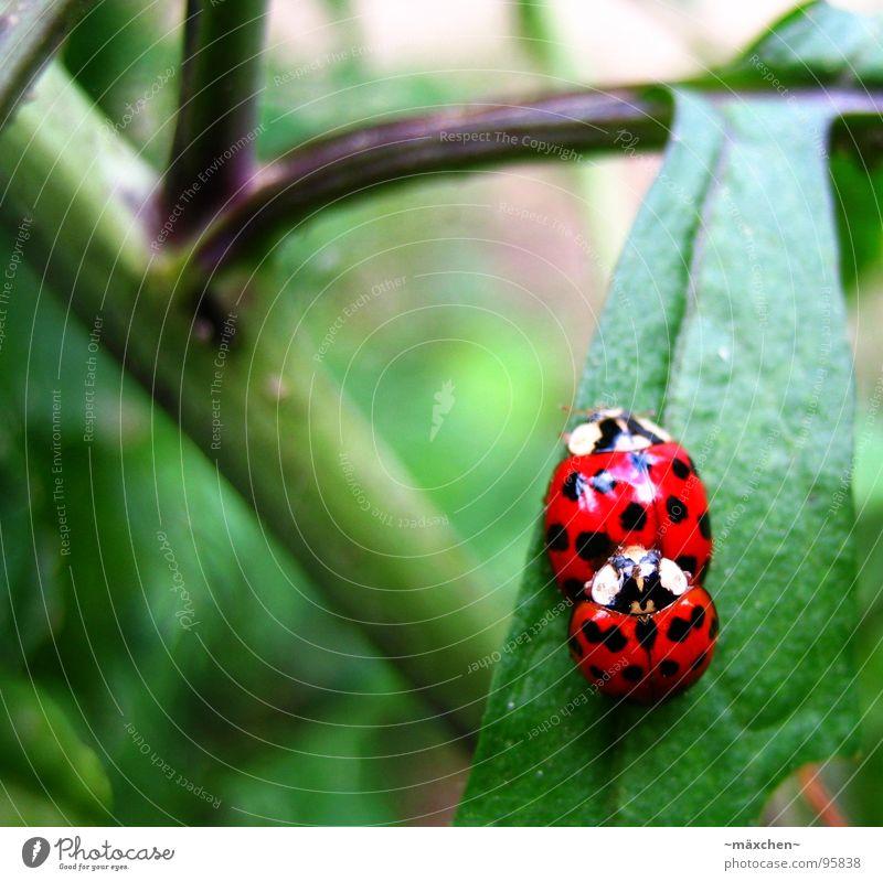 Marienkäferliebe - make love not war grün rot Freude Frühling Sträucher Käfer Produktion Nachkommen Brunft Fortpflanzung