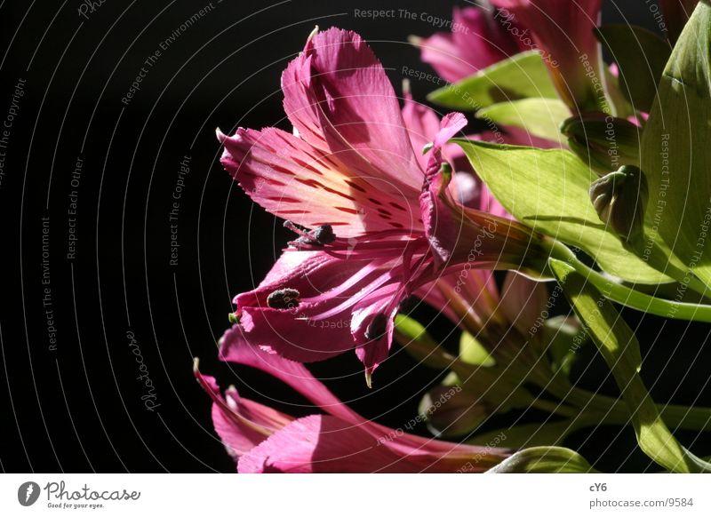 pinke Blume Natur Blume ruhig schwarz rosa