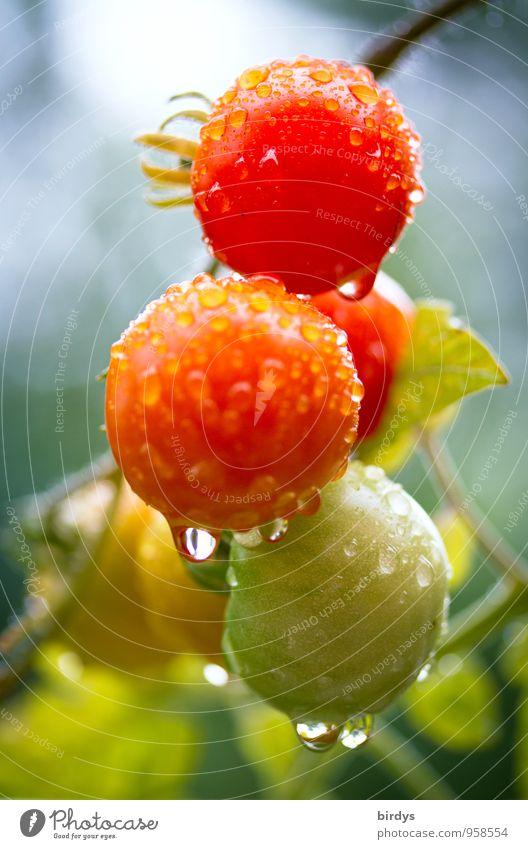 Bio-Freilandtomaten Natur Pflanze grün rot Gesunde Ernährung Gesundheit Regen Wachstum Frucht Wassertropfen ästhetisch nass Gemüse lecker Bioprodukte
