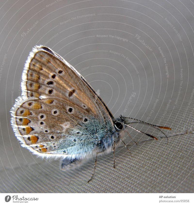 Hauhechelbläuling *1 Natur weiß schön Sommer Blume Auge Tier Farbe Freiheit Gefühle Blüte Frühling Farbstoff Beine orange