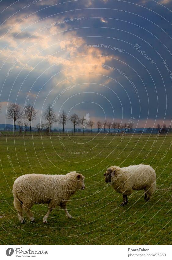 Kampf der Schafe Himmel Baum Sonne Wolken Wiese Feld Wut kämpfen Säugetier Allee Ärger HDR Brunft Vieh Tier