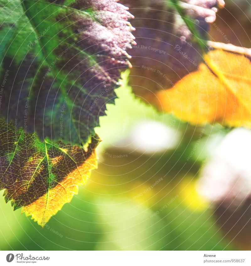 Maler Herbst Natur Pflanze grün Baum Blatt gelb braun Sträucher fantastisch einzigartig Wandel & Veränderung Herbstlaub herbstlich Färbung Haselnussblatt