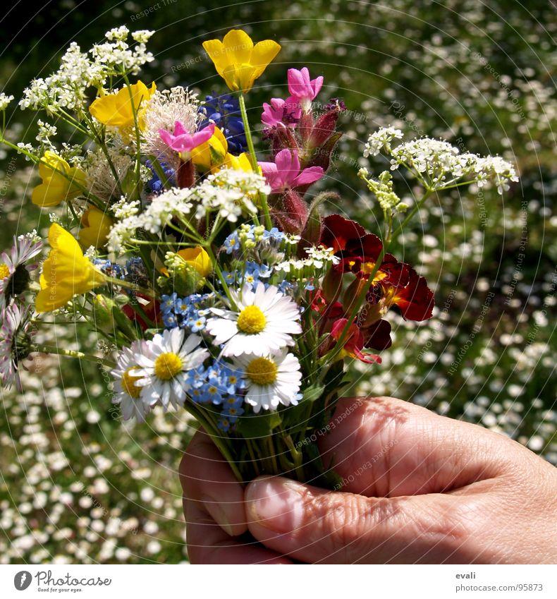 Frühlingsblumen bei Sommertemperaturen schön Hand Blume Wiese Gras Garten springen Blühend Finger festhalten Blumenstrauß Duft Gänseblümchen edel danke schön