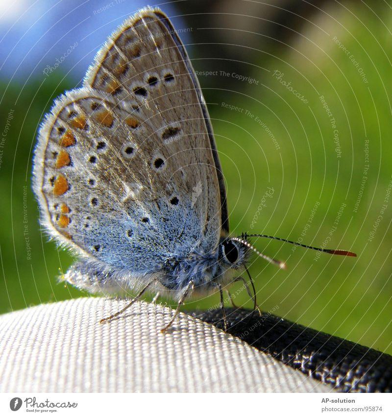 Hauhechelbläuling *2 schön Freiheit Sommer Auge Natur Tier Frühling Blume Blüte Schmetterling Flügel fliegen frei violett weiß Gefühle Frühlingsgefühle Farbe