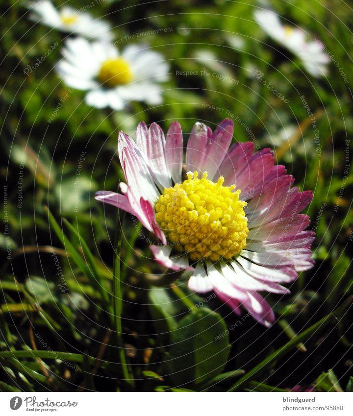 Little Flower Gänseblümchen Wiese tief Gras Blume grün rosa weiß Baum nah Pflanze Natur Makroaufnahme Nahaufnahme Frühling Wildtier meadow flower Garten