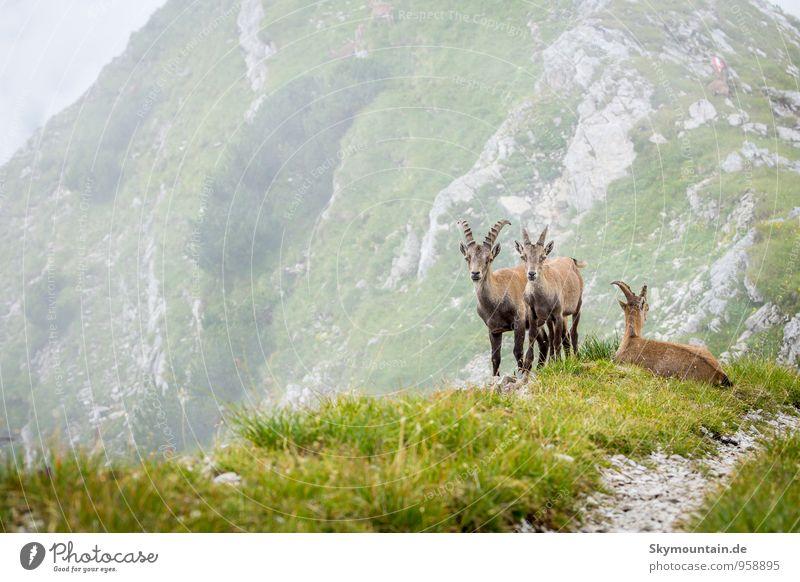 Wilde Steinböcke in den tiroler Alpen Natur Ferien & Urlaub & Reisen Sommer ruhig Tier Berge u. Gebirge Glück Regen Freizeit & Hobby Nebel Wildtier