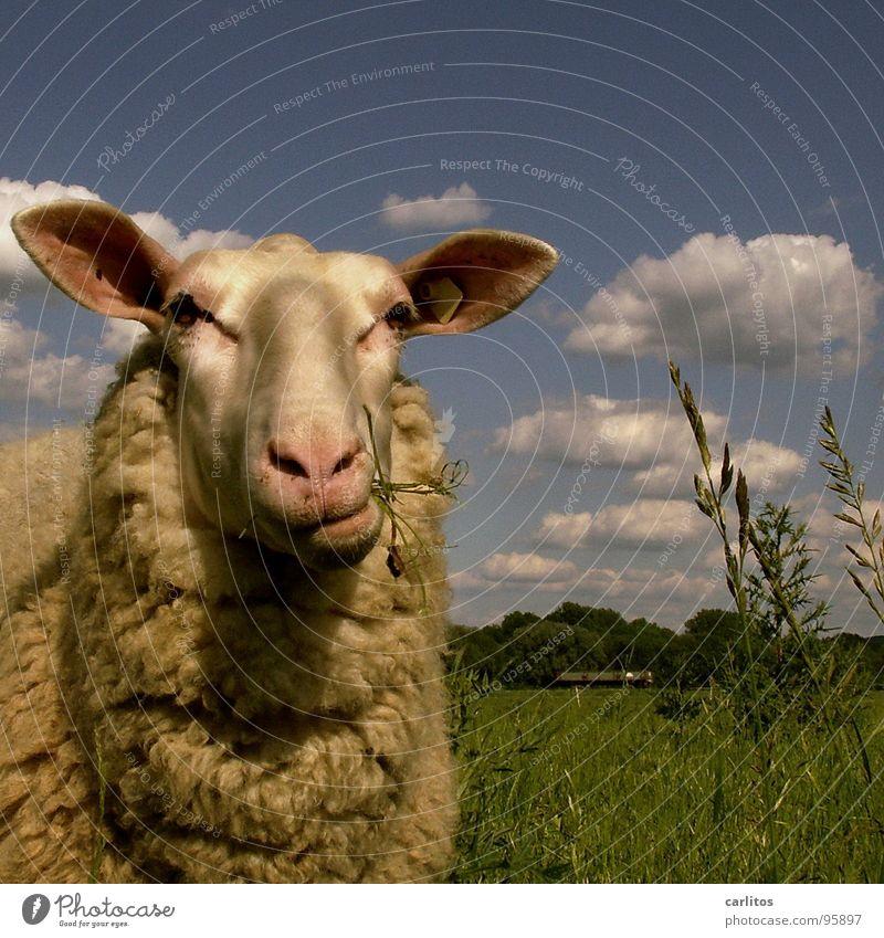 Gestatten, Daisy .. schön ruhig Denken lustig niedlich Fell Idylle Tiergesicht Weide Schaf genießen Halm Fressen Lust harmonisch Säugetier