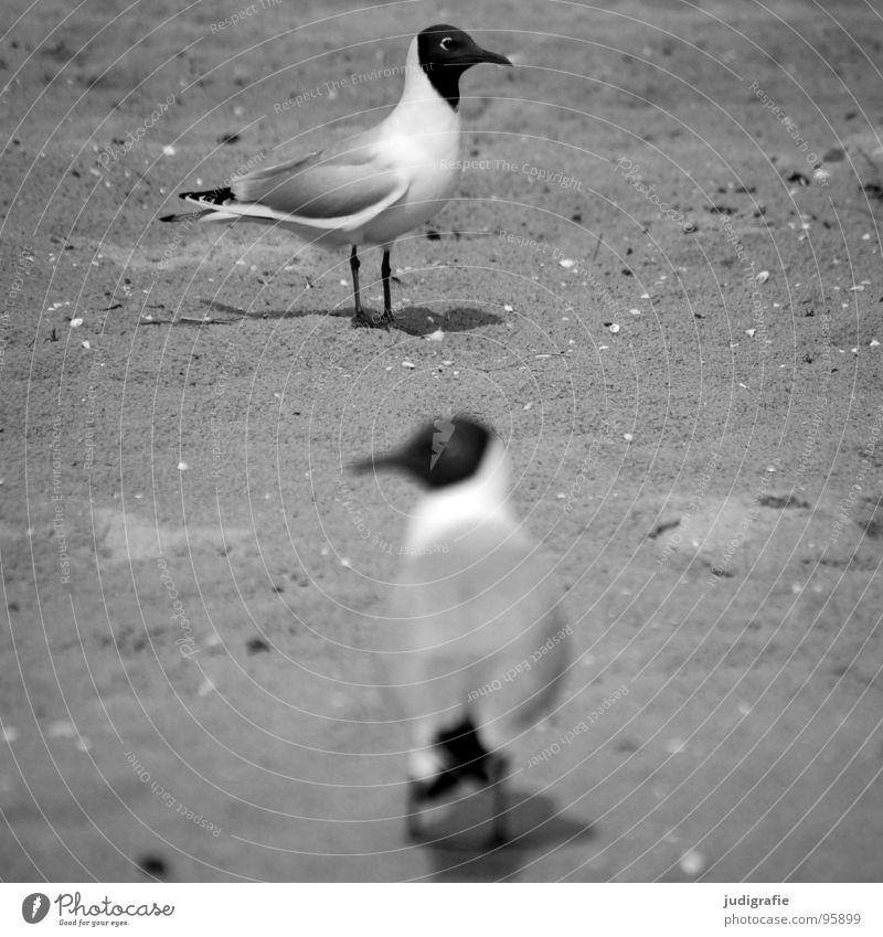 Richtungen Lachmöwe Möwe 2 Vogel Tier Strand Verschiedenheit schwarz grau trist Küste Kommunizieren Sand Blick Ostsee Schwarzweißfoto paarweise Tierpaar
