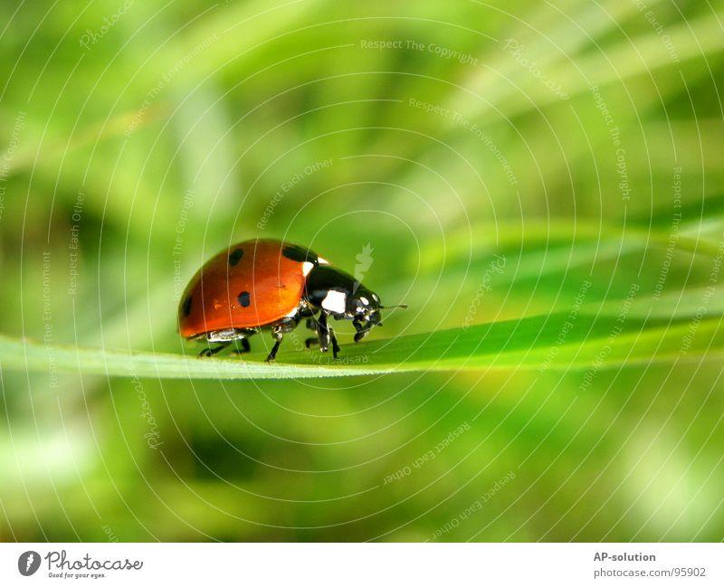 """""""gallopierender"""" Marienkäfer *1 Glück Erfolg Natur Tier Gras Käfer krabbeln laufen klein Geschwindigkeit grün rot schwarz Insekt winzig Fühler Halm grasgrün"""