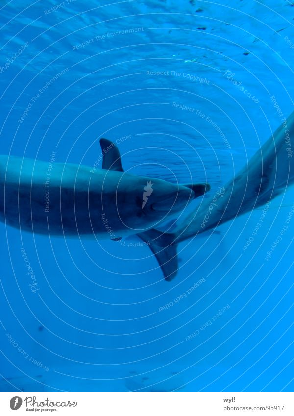 Vor dem Delphin ist nach dem Delphin. Wasser Meer blau Wellen Fisch Aquarium Säugetier Schwanz Schwimmhilfe Schnauze Becken Salz Delphine Wal Meeressäuger