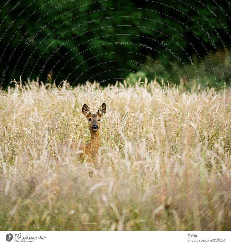 Gutenmorgenreh Umwelt Natur Landschaft Tier Sommer Pflanze Gras Wiese Feld Wildtier Reh 1 beobachten Blick frei natürlich Neugier Freiheit Wachsamkeit Kontrolle