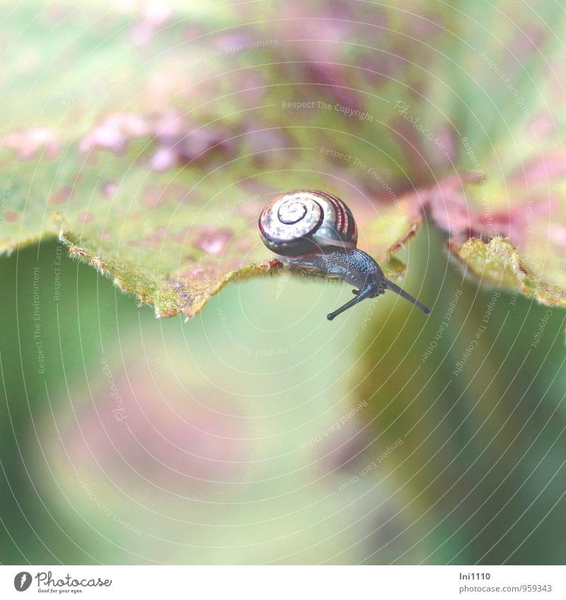 junge Weinbergschnecke Natur Pflanze Tier Herbst Blatt Frauenmantelblatt Garten Wildtier Schnecke Tierjunges Fressen krabbeln Blick außergewöhnlich schleimig