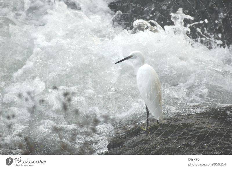 Seidenreiher am Po Wellen Küste Flussufer Wasserfall Stromschnellen Felsen Stein Turin Italien Piemonte Stadt Tier Vogel Reiher Wildtier 1 beobachten Blick