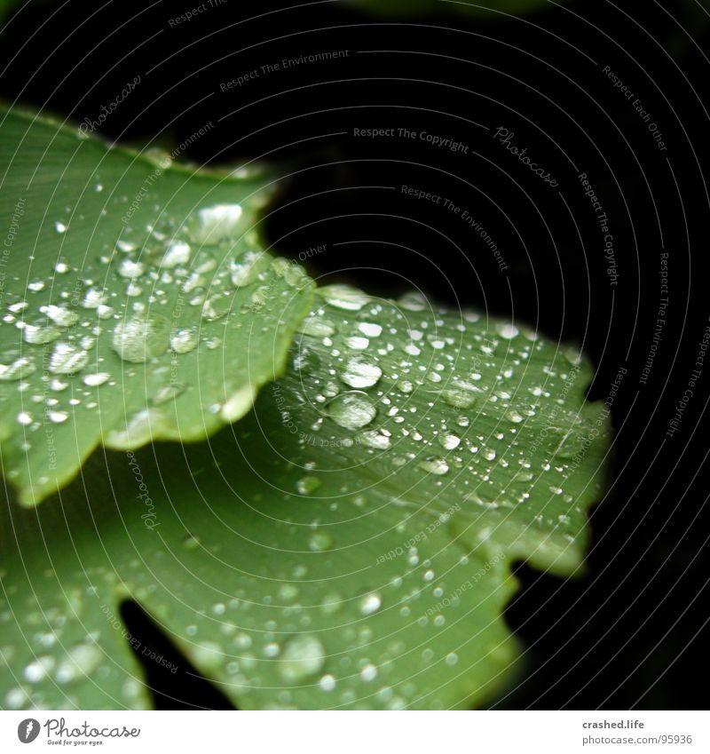 Raindrops II nass schwarz grün Blatt feucht dunkelgrün gestreift Klarheit Pflanze Salatblatt Wassertropfen Regen Außenaufnahme Makroaufnahme Nahaufnahme Drop