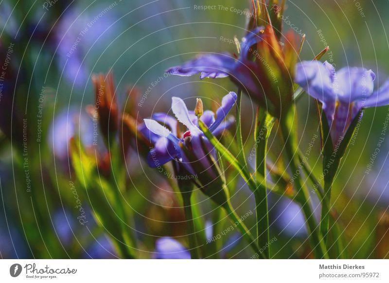 SUMMER ON BALCONY Blume Blüte violett Stengel Blumenstengel Unschärfe Balkon Blumenkasten Sommer Pflanze Garten Park Kasten blau