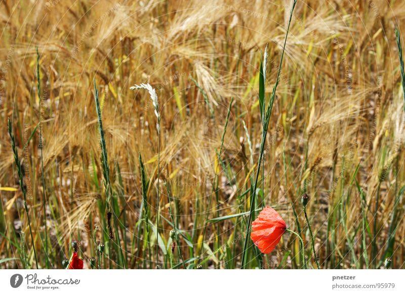 Come whatever may Mohn Weizen Feld Landwirtschaft rot Blüte Gras Sommer Korn