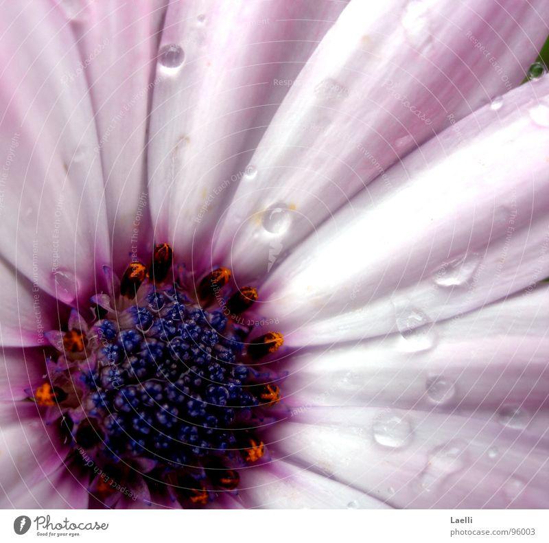...wenn Blumen weinen. weiß Blüte Regen hell rosa Wassertropfen nass violett Stempel
