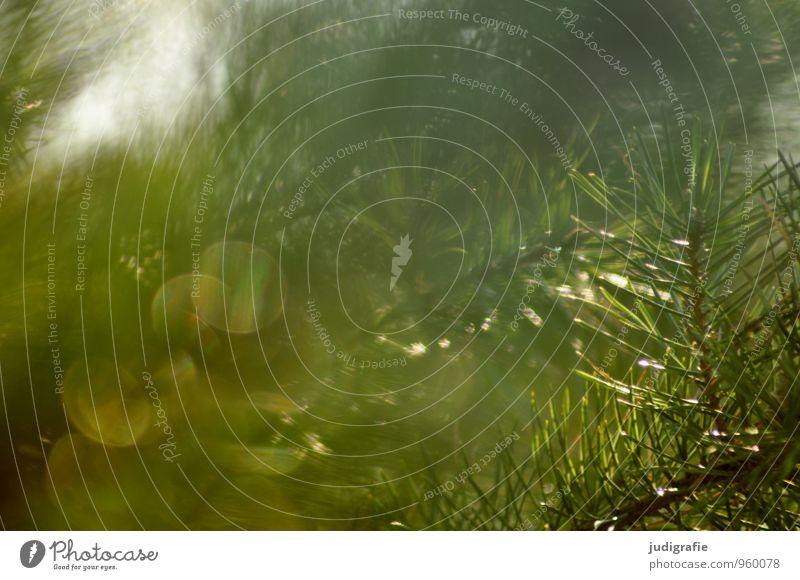 Wald Umwelt Natur Pflanze Wildpflanze leuchten glänzend natürlich Spitze stachelig wild grün Stimmung Hoffnung Tannennadel Tannenzweig Nadelbaum Kiefer Farbfoto