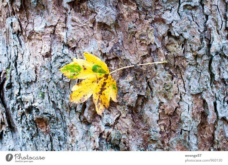 Festhalten Pflanze Herbst Baum Blatt Laubbaum Herbstlaub Park Wald mehrfarbig Herbstfärbung Baumstamm Baumrinde herbstlich Solist Farbfoto Außenaufnahme