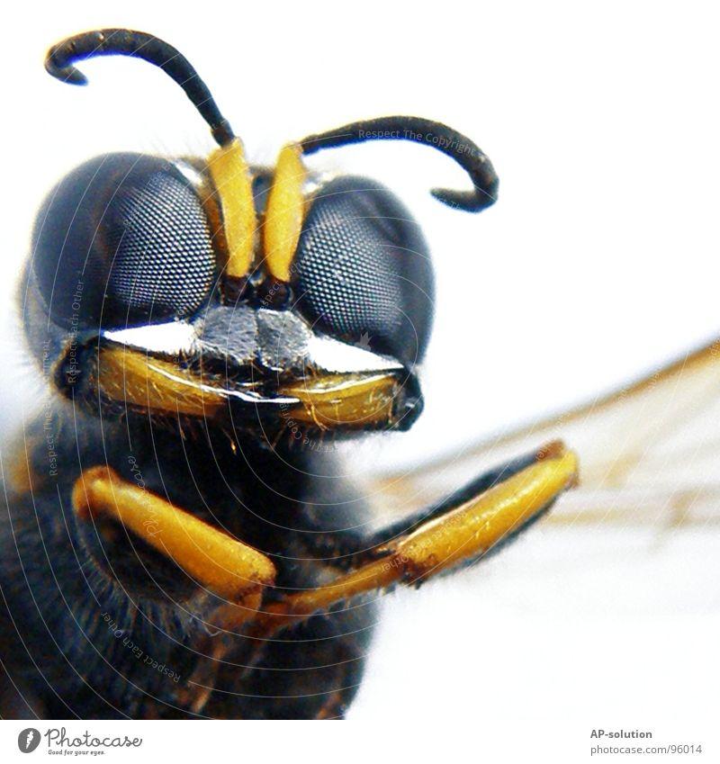 Cheeeeeese! Natur blau Tier schwarz gelb Gefühle klein Arbeit & Erwerbstätigkeit fliegen Flügel Biene Insekt Makroaufnahme grinsen Shorts krabbeln