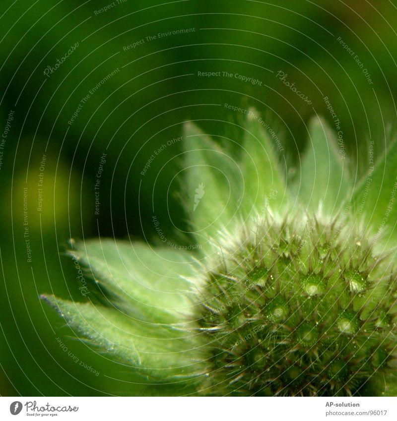 aufgefressene Blume Natur grün schön Pflanze Sommer Wiese Gras Frühling Garten Blüte Wachstum Stern (Symbol) Schönes Wetter Blühend zart