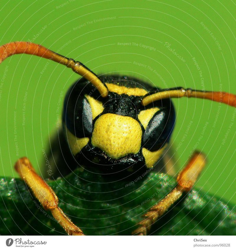 Französische Feldwespe ( Polistes dominulus ) grün Sommer schwarz Auge Tier gelb Flügel Insekt Biene Fühler Wespen Staubfäden Nektar Hornissen Hautflügler