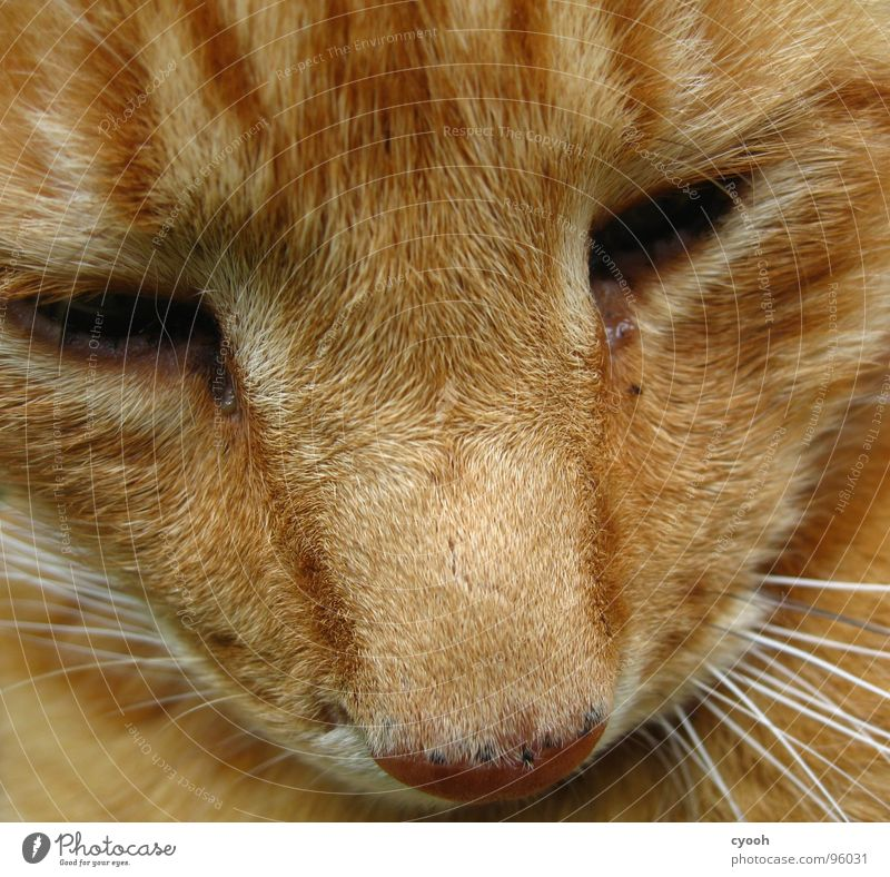 Kater alt rot Auge Tier Haare & Frisuren Traurigkeit Katze Trauer Fell Haustier Säugetier Schnauze Hauskatze Zuneigung Oberlippenbart
