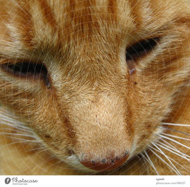 Kater Katze rot Schnauze Oberlippenbart Tier Haustier Trauer Zuneigung Fell Makroaufnahme Nahaufnahme Säugetier Hauskatze organge Auge Traurigkeit alt ergeben