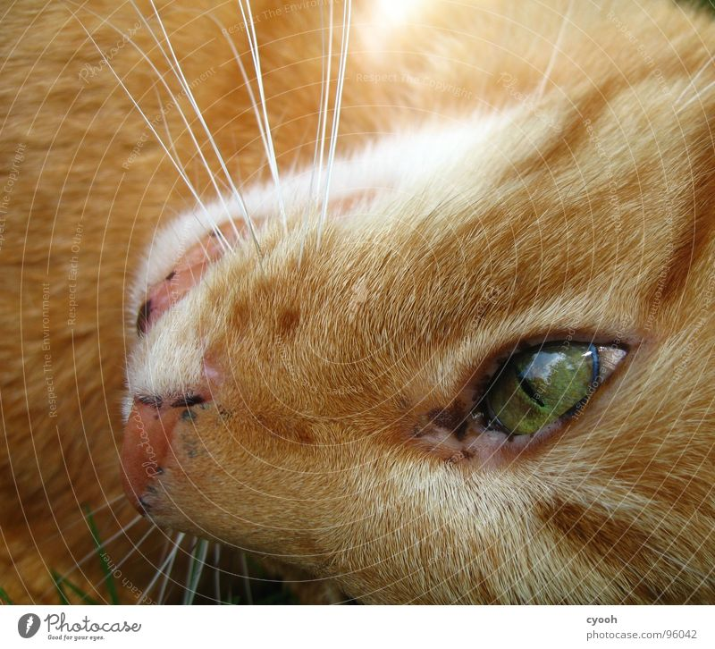 Kater II Katze rot grün Schnauze Oberlippenbart Tier Haustier Zuneigung Fell Makroaufnahme Nahaufnahme Säugetier Hauskatze organge Auge Katzenauge