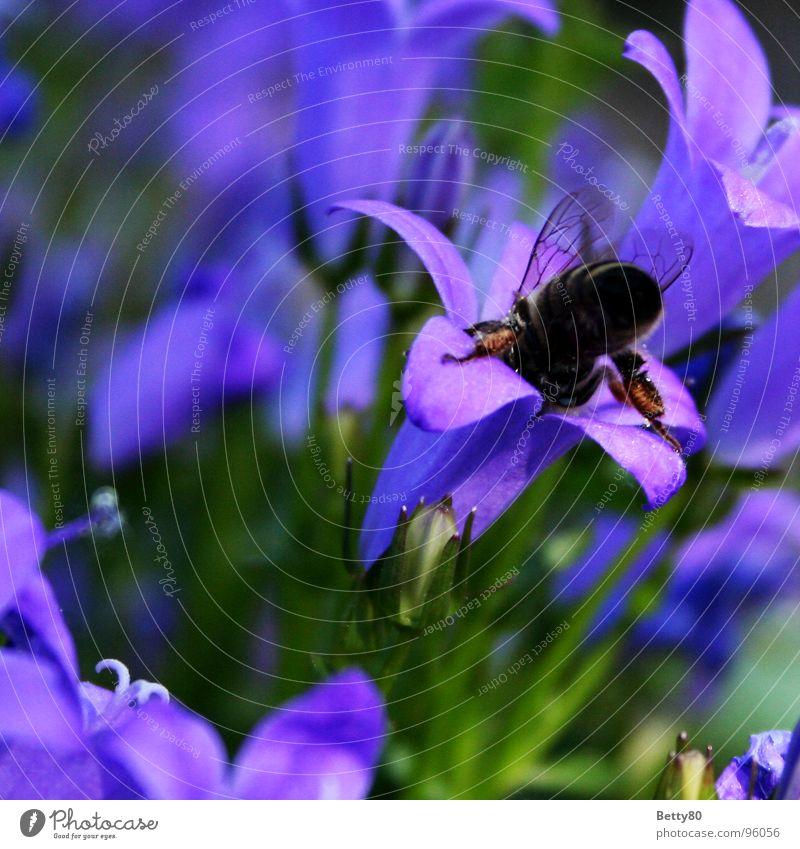 Visite Biene bestäuben Insekt Pflanze Blume Staubfäden Honig Bestäubung Natur Garten Nektar