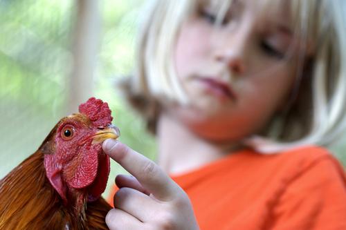 Fritz, der Hahn Lebensmittel Ei Geflügel Ernährung Kindererziehung Schule Landwirtschaft Forstwirtschaft Mädchen 1 Mensch 8-13 Jahre Kindheit Tier Haustier