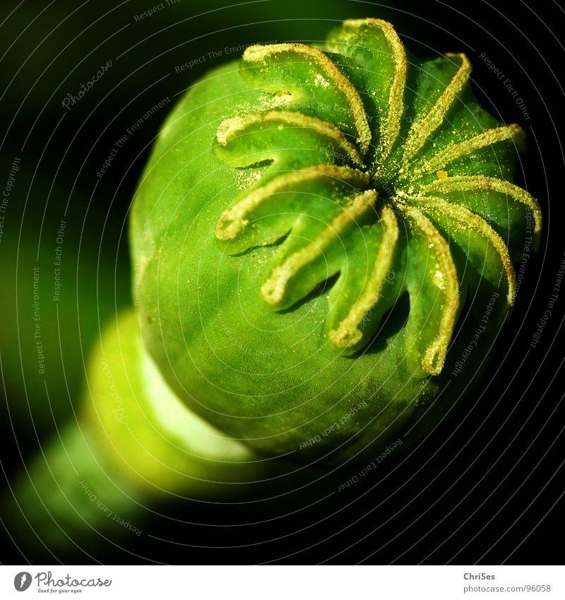 Mohn im Endstadium Blume grün Pflanze Sommer schwarz Blüte rund Kugel Stengel Korn Samen bestäuben Mohnblüte Klatschmohn
