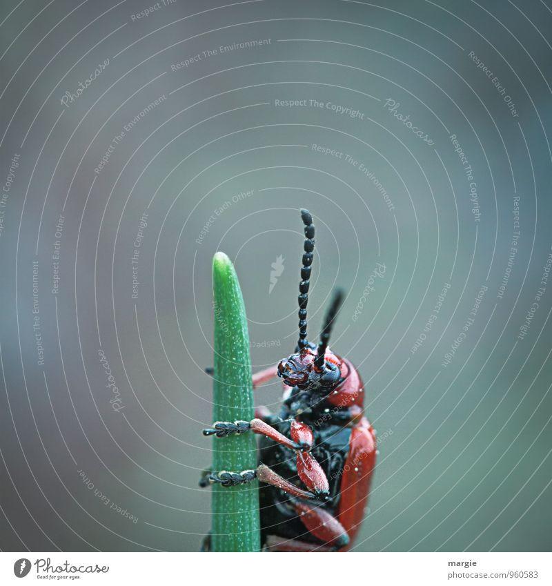 Ein rot schwarzer Käfer klettert auf die Spitze eines Grashalmes Umwelt Natur Pflanze Tier Wildtier Tiergesicht Fühler Käferbein 1 beobachten glänzend niedlich