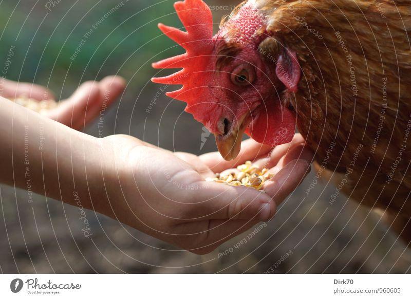 Frisst auch aus der Hand grün rot Tier schwarz Umwelt braun Lebensmittel Vogel Schule Kopf Landwirtschaft Vertrauen Tiergesicht Haustier nachhaltig Fressen