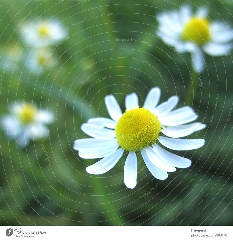 Kamille tut gut Blume Pflanze Gesundheit Unschärfe Wiese Heilpflanzen