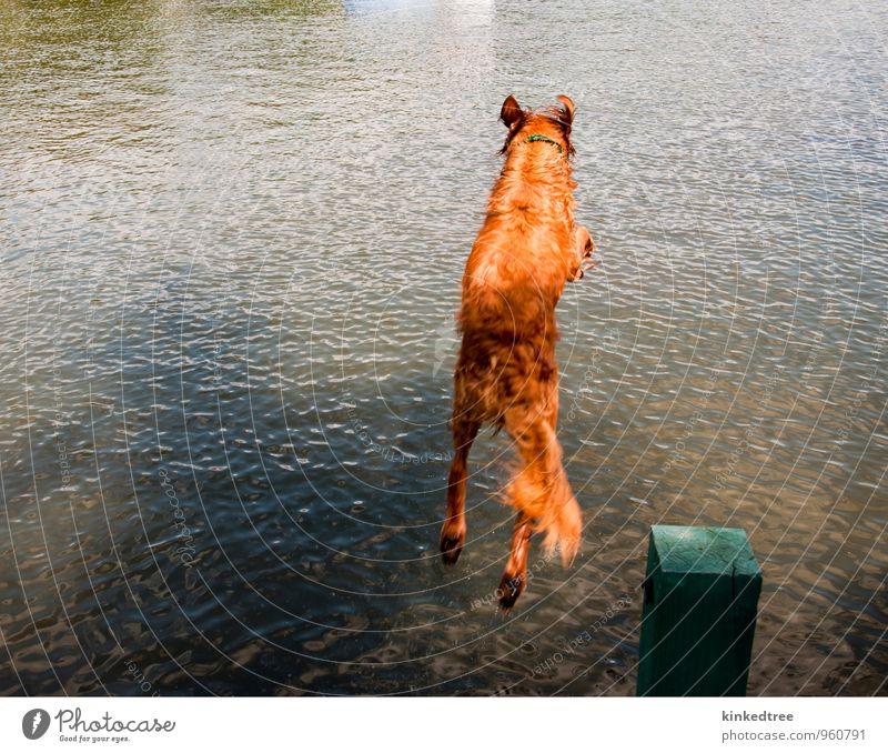 Hund beim Springen vom Dock ins Wasser Sommer Natur Tier Wetter Schönes Wetter Teich See blau braun gelb grau grün schwarz weiß Farbe übersichtlich orange