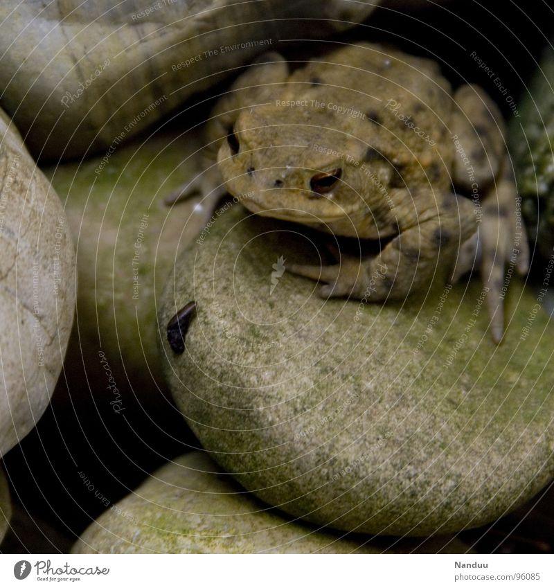 Hugo schaut grün ruhig Tier kalt Stein sitzen beobachten feucht dick Frosch Umweltschutz beige bewegungslos bequem Lurch hockend