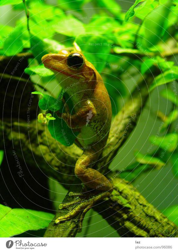 Climbing Frog Natur grün Pflanze Tier Farbe Blatt schwarz Auge Frühling Stein springen braun orange Regen gold Haut
