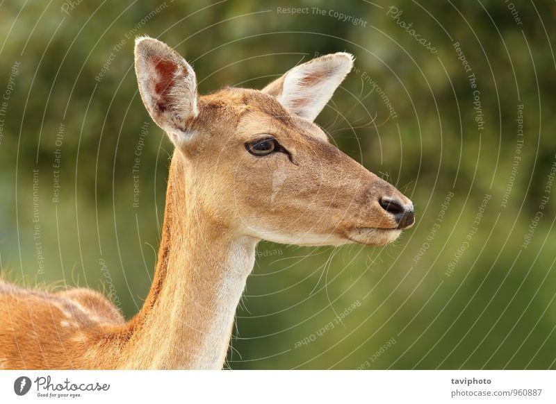 Damhirsch Hinterhand Porträt schön Gesicht Jagd Sommer Frau Erwachsene Umwelt Natur Landschaft Tier Park Wald Pelzmantel natürlich wild braun grün Kopf