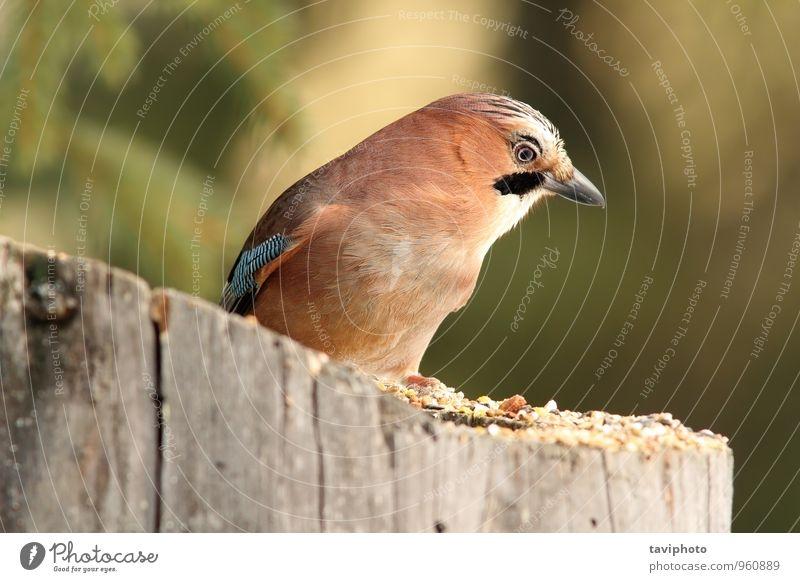 Gartenvogel auf einem Stumpf schön Umwelt Natur Tier Park Wald Vogel beobachten sitzen stehen wild blau braun schwarz weiß Farbe Garrulus eurasisch glandarius