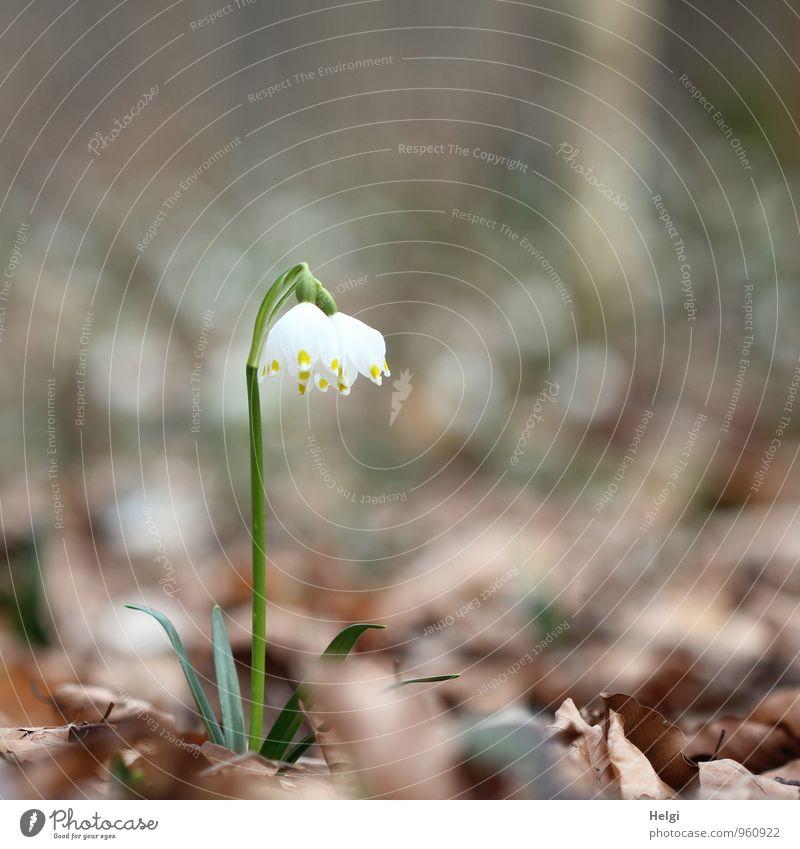 Märzenbecher Umwelt Natur Landschaft Pflanze Frühling Blume Blatt Blüte Wildpflanze Wald Blühend stehen Wachstum ästhetisch schön natürlich braun grün weiß