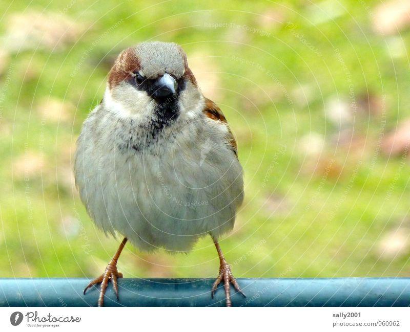 auf schlanken Füßchen... Tier Vogel Spatz 1 beobachten fliegen sitzen stehen warten Freundlichkeit schön klein Neugier rund weich braun grau Erwartung