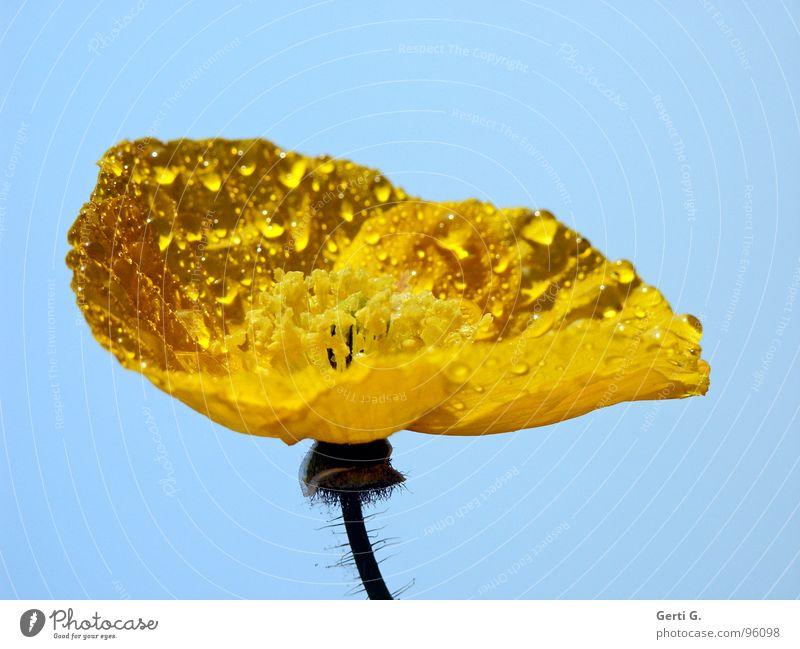gelb und blau mag jede ..... Islandmohn Blütenpflanze Seidenpapier zart Blume Klatschmohn Mohn Mohnblüte Gift Sonnenlicht nass Regen Wassertropfen hydrophob