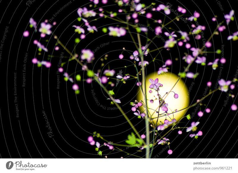 Angeblitzte Prachtkerze vor Vollmond Pflanze Blume Blüte Garten Textfreiraum Romantik Abenddämmerung Schrebergarten Mond Nachthimmel Feierabend