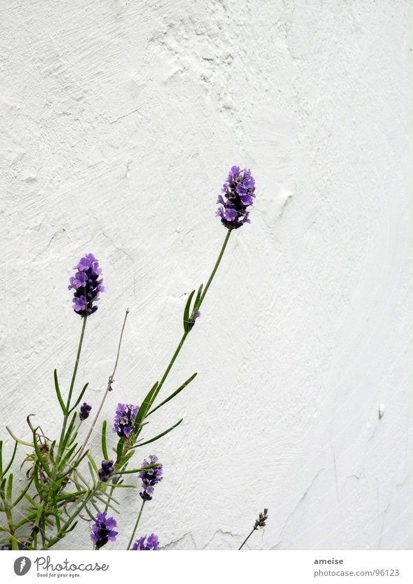 Mottengift (1. Teil) Natur schön grün Pflanze Sommer Wand Landschaft Wohnung Dekoration & Verzierung Duft Balkon Putz Lavendel Heilpflanzen