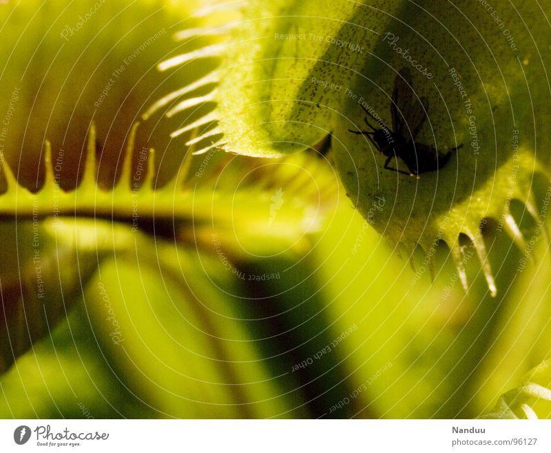 trip to Venus Natur Pflanze Fliege Fressen grün Tod skurril Venusfliegenfalle töten brutal Sonnentaugewächse Falle aufgeklappt gefangen Textfreiraum unten