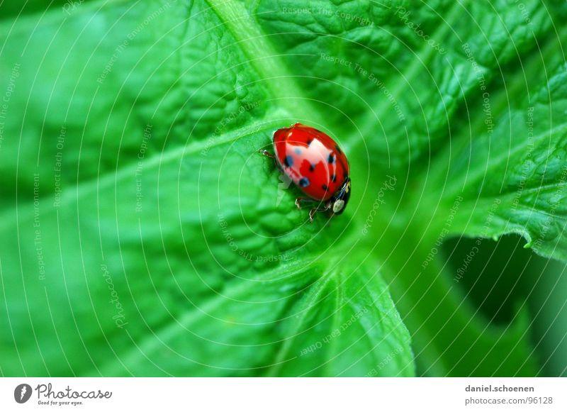 es geht bergab mit dem Glück Marienkäfer grün rot Kontrast mehrfarbig langsam krabbeln Makroaufnahme Nahaufnahme Sommer Farbe