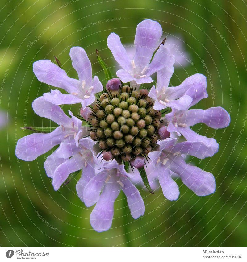 violettes Blümchen Natur blau grün schön Pflanze Sommer Blume Frühling Garten Blüte Wachstum Schönes Wetter Blühend zart Biene